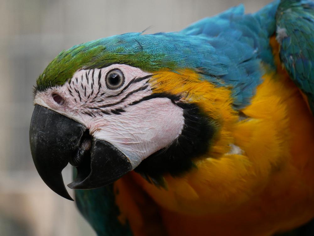 Le Ara Bleu Ou Ararauna Parc Zoologique De Frejus