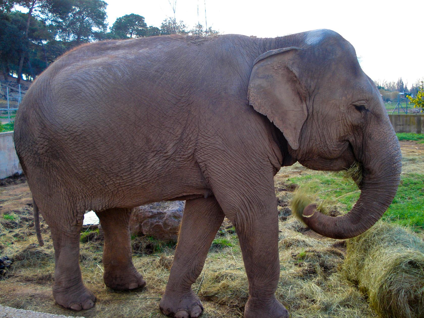 L'éléphant d'asie - Parc zoologique de fréjus